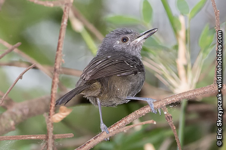 This is a photo of a Antbird - Dusky