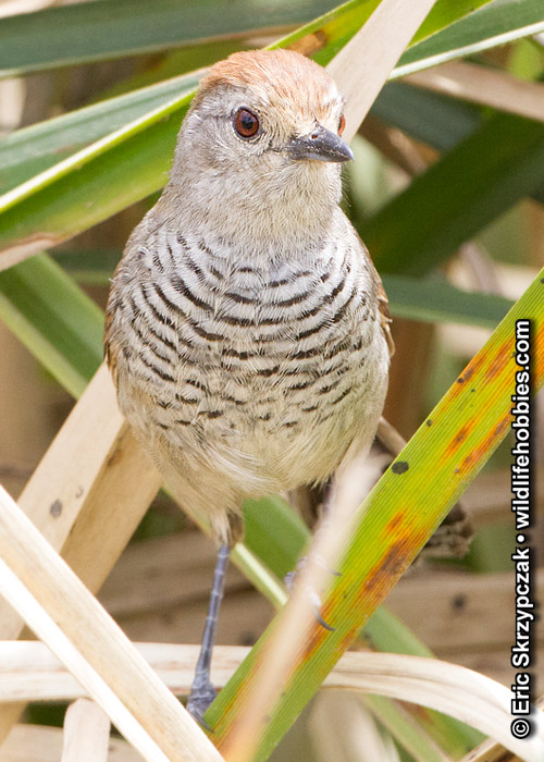 This is a photo of a Antshrike - Rufous-capped, Thamnophilus ruficapillus