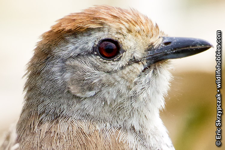This is a photo of a , Antshrike - Rufous-capped
