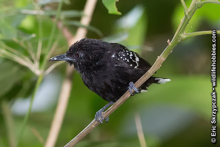 This is a photo of a Antwren - Dot-winged, Microrhopias quixensis