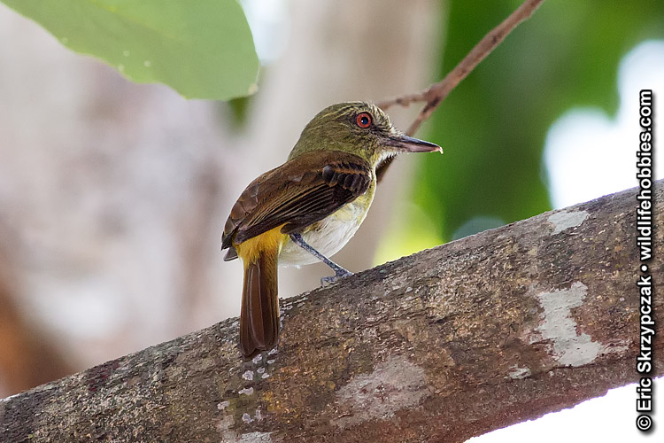 This is a photo of a Attila - Bright-rumped