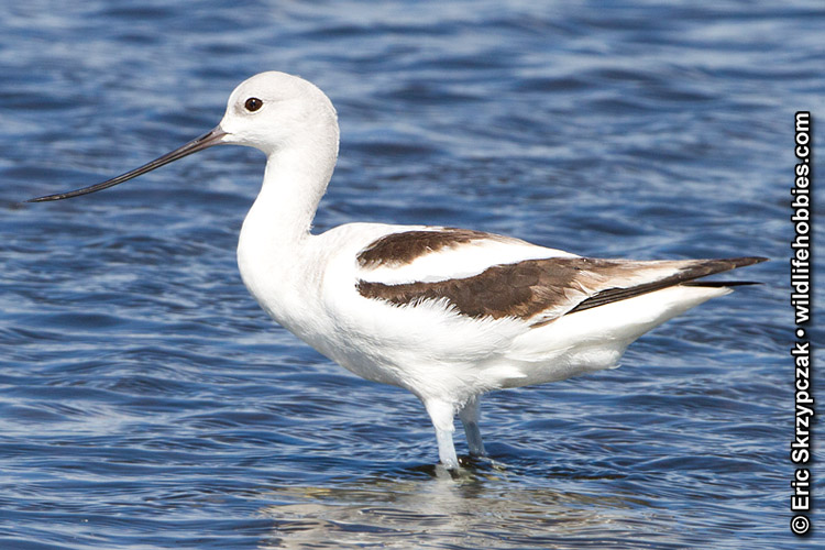 This is a photo of a , Avocet  - American
