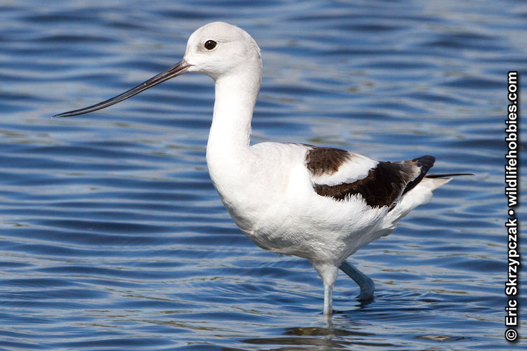 This is a photo of a Avocet  - American , Recurvirostra americana