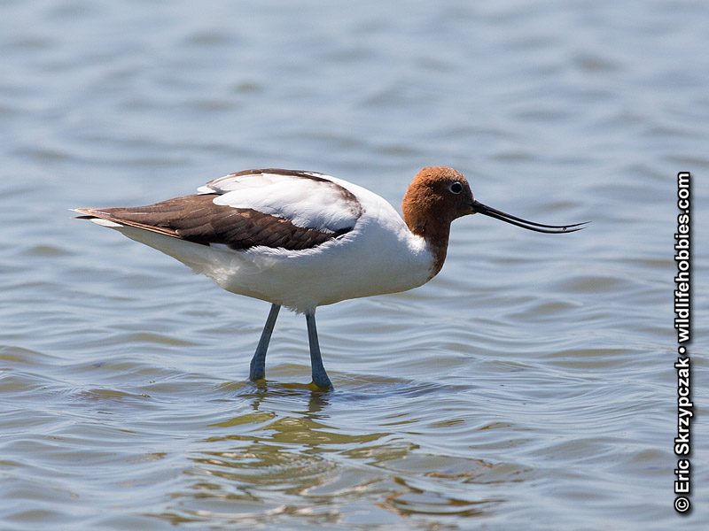 This is a photo of a Avocet - Red-necked, Recurvirostra novaehollandiae