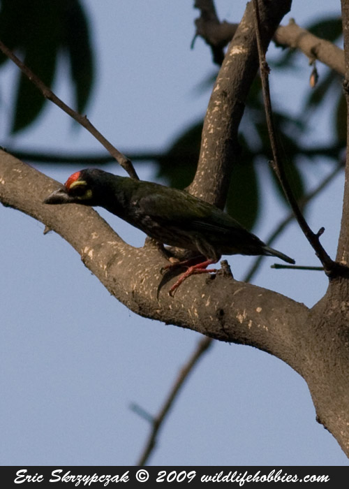 This is a photo of a Barbet - Coppersmith