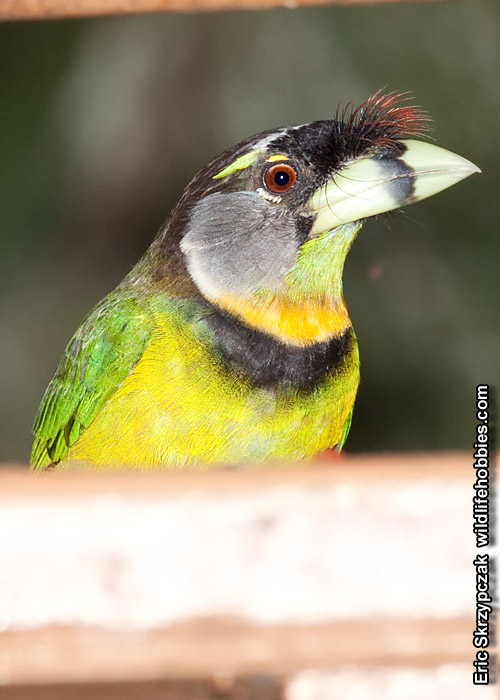 This is a photo of a Barbet - Fire-tufted, Psilopogon pyrolophus
