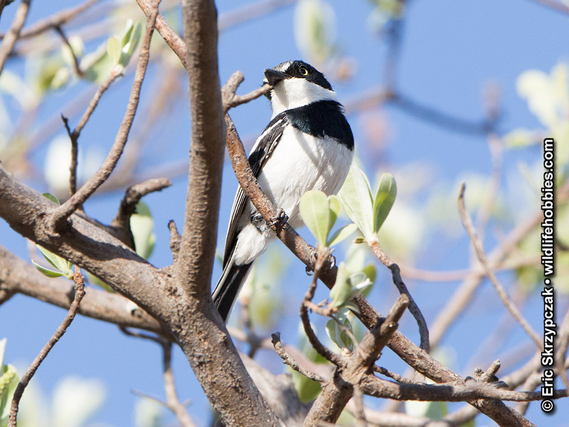 This is a photo of a Batis - Chinspot, Batis molitor