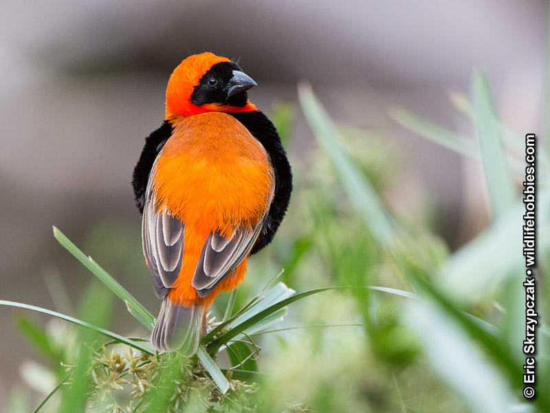 This is a photo of a Bishop - Southern red, Euplectes orix