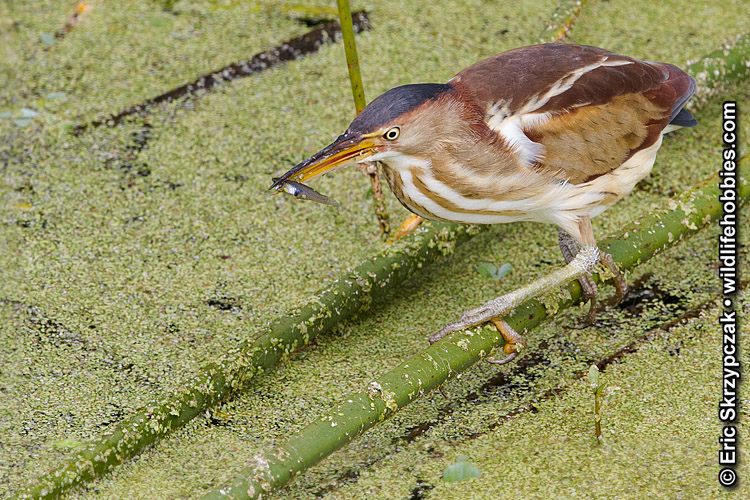 This is a photo of a Bittern - Least, Ixobrychus exilis