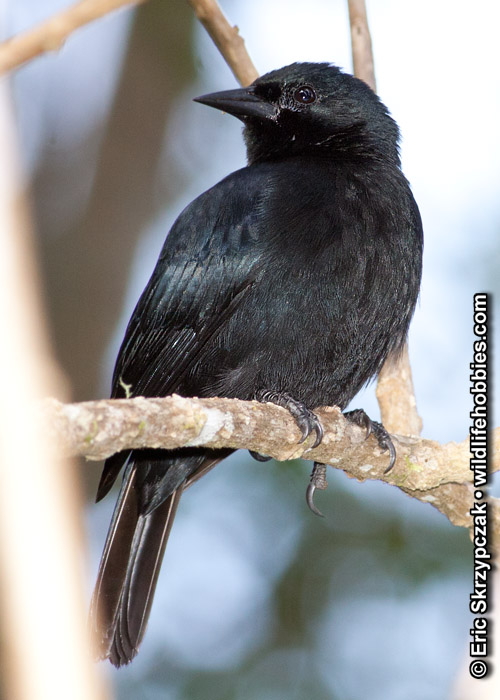 This is a photo of a Blackbird - Jamaican, Nesopsar nigerrimus
