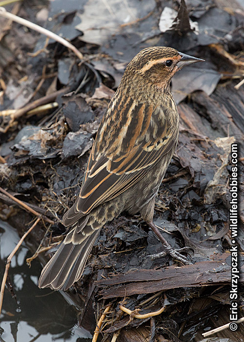 This is a photo of a Blackbird - Red-winged, Agelaius phoeniceus