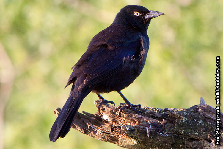 This is a photo of a , Blackbird - Rusty