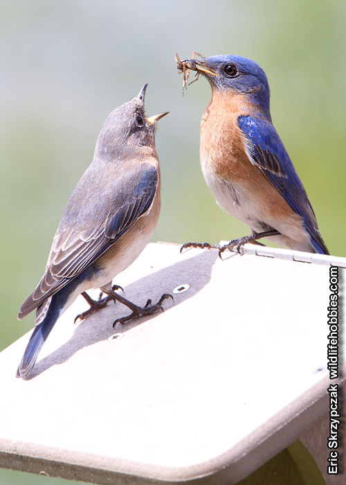 This is a photo of a Bluebird - Eastern, Sialia sialis