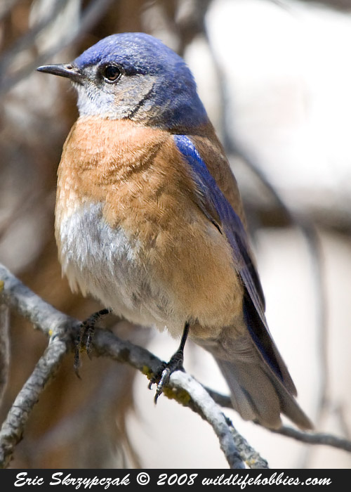 This is a photo of a Bluebird - Western, Sialia mexicana