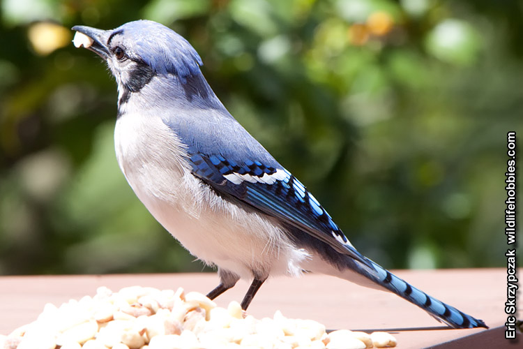 This is a photo of a Blue Jay, Cyanocitta cristata