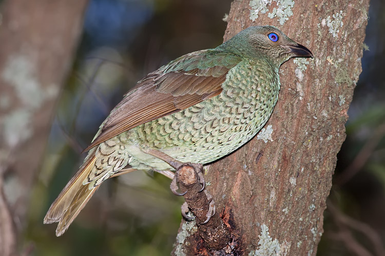 This is a photo of a Bowerbird - Satin, Ptilonorhynchus violaceus