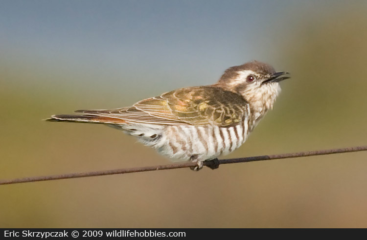 This is a photo of a Bronze-Cuckoo - Horsfield's, Chrysococcyx basalis