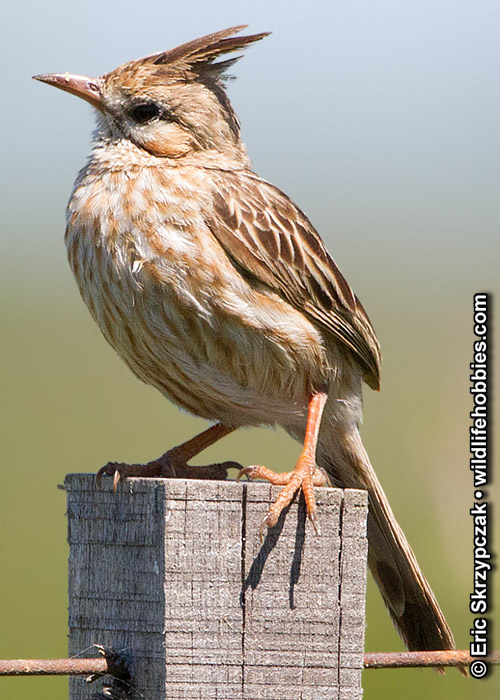 This is a photo of a , Brushrunner - Lark-like