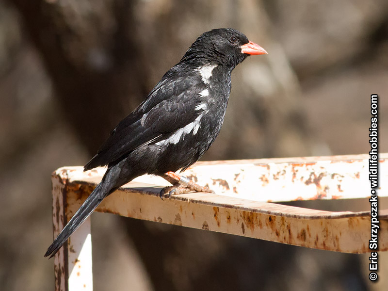 This is a photo of a Buffalo-weaver - Red-billed, Bubalornis niger