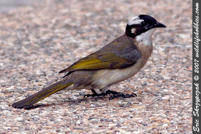This is a photo of a Bulbul - Common, Pycnonotus barbatus