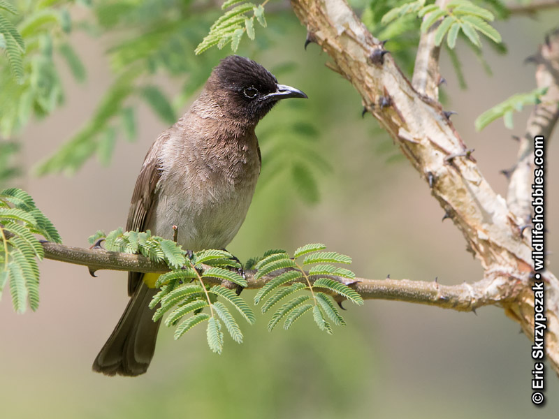 This is a photo of a , Bulbul - Dark-capped