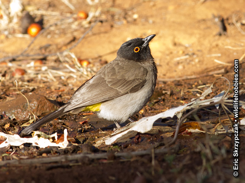 This is a photo of a , Bulbul - Red-eyed