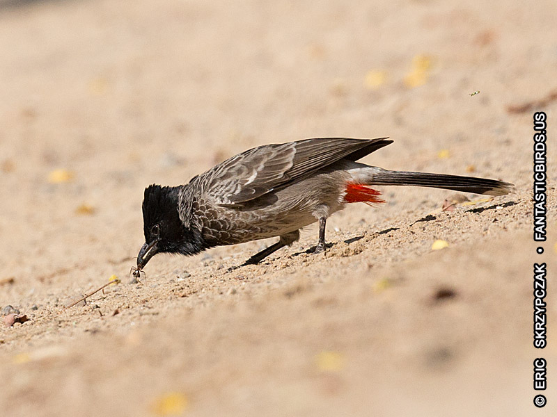 This is a photo of a , Bulbul - Red-vented