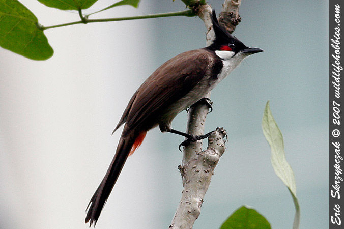 This is a photo of a Bulbul - Red-whiskered, Pycnonotus jocosus