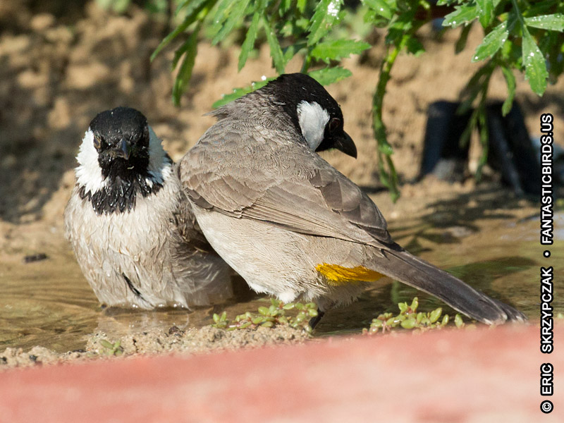 This is a photo of a Bulbul - White-eared