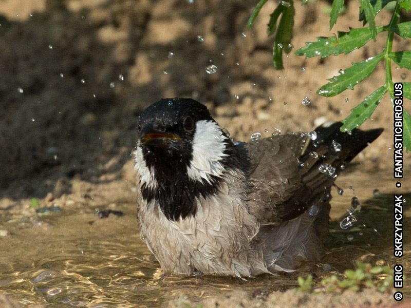 This is a photo of a , Bulbul - White-eared