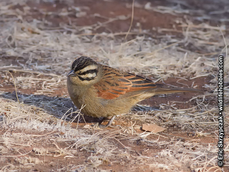 This is a photo of a Bunting - Cape, Emberiza capensis