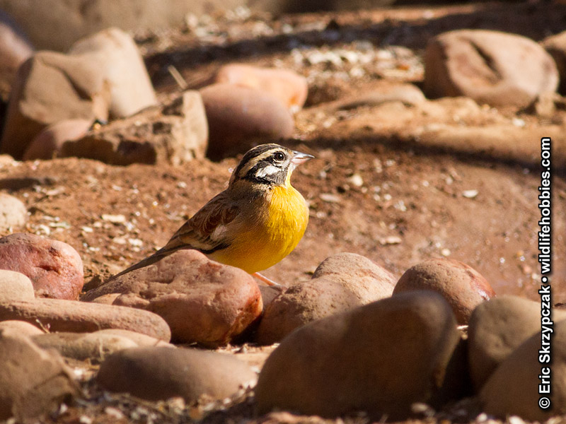 This is a photo of a Bunting - Golden-breasted, Emberiza flaviventris