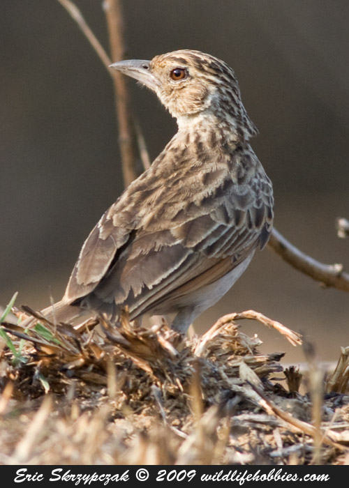 This is a photo of a Bushlark - Indian, Mirafra erythroptera