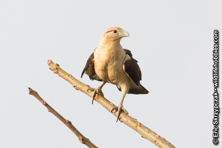 This is a photo of a Caracara - Yellow-headed, Milvago chimachima