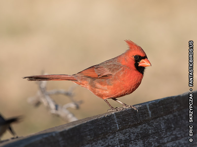 This is a photo of a Cardinal - Northern, Cardinalis cardinalis
