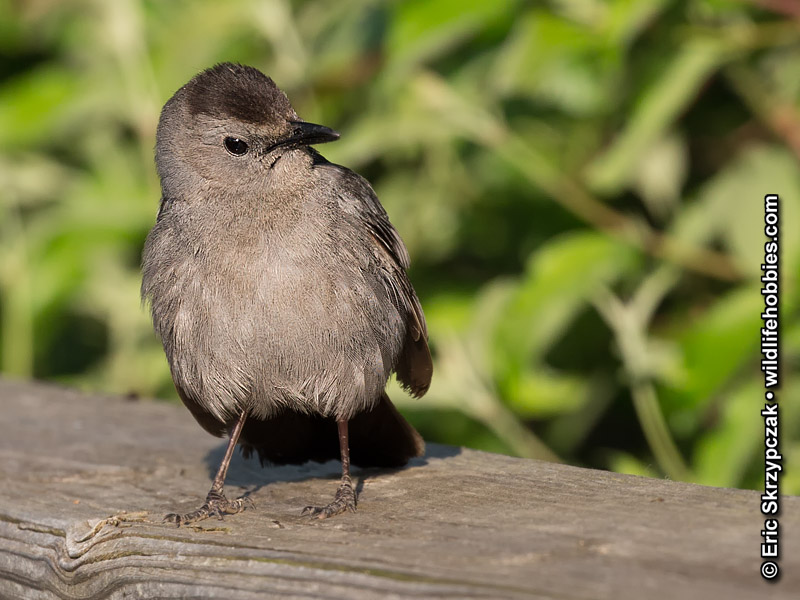 This is a photo of a , Catbird Gray