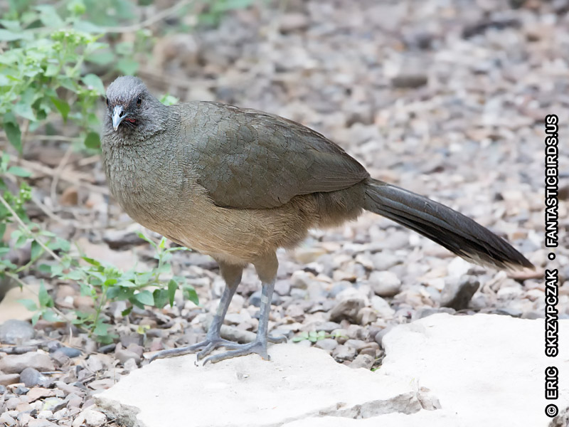 This is a photo of a , Chachalaca - Plain