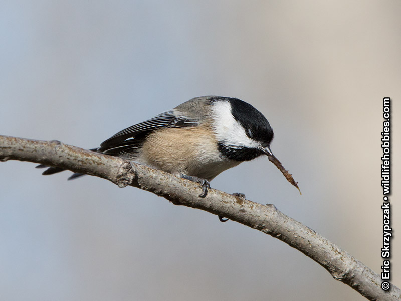This is a photo of a , Chickadee - Black-capped