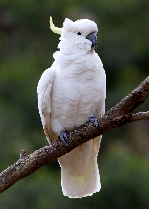 This is a photo of a Cockatoo - Sulpher-crested, Cacatua galerita