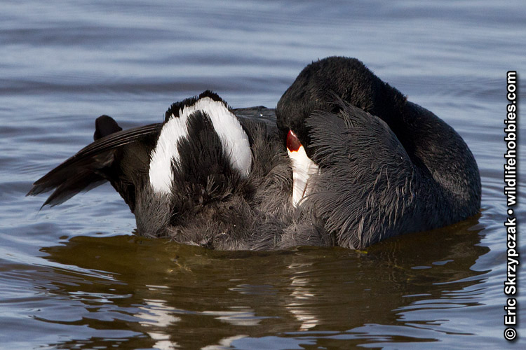 This is a photo of a , Coot - American