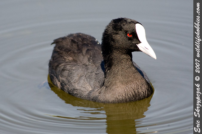 This is a photo of a , Coot - Eurasian