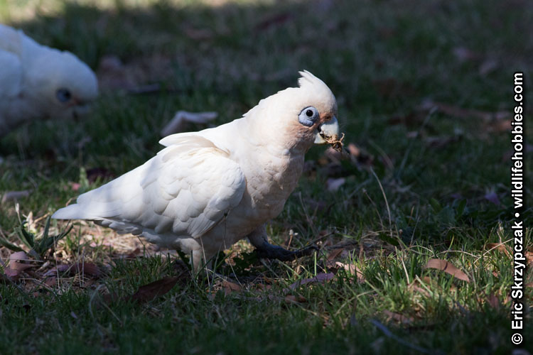 This is a photo of a , Corella - Little