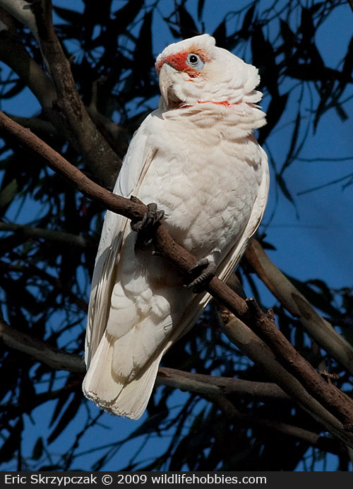 Corella - Long-billed']; ?>