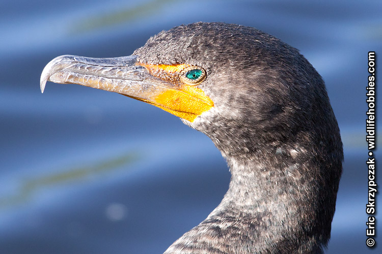 This is a photo of a , Cormorant Double-crested