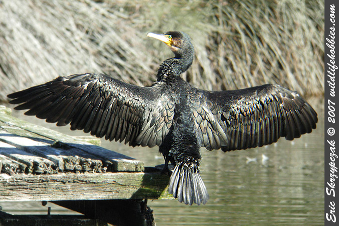 Cormorant - Little - Black']; ?>