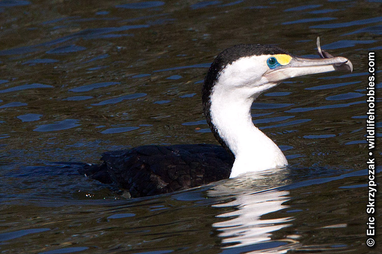 This is a photo of a , Cormorant - Pied