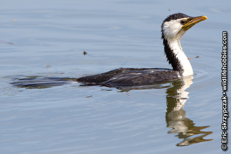Cormorant - Little Pied']; ?>