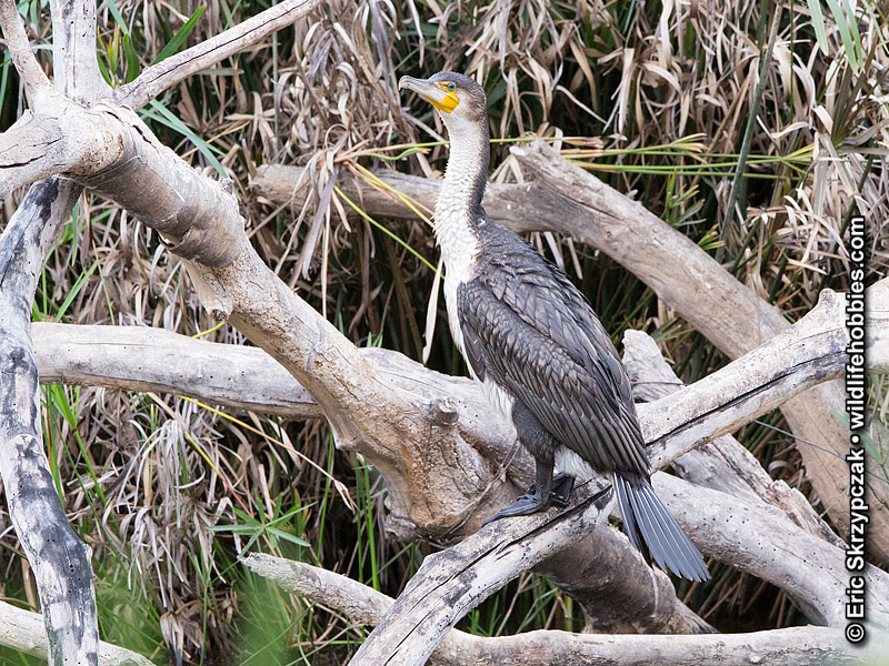 This is a photo of a , Cormorant - White-breasted