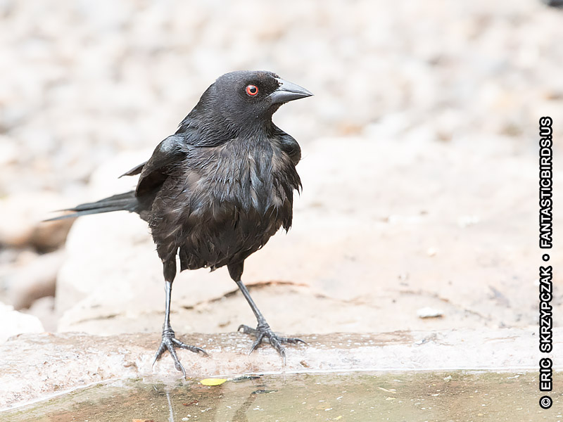 This is a photo of a Cowbird - Bronzed, Molothrus aeneus