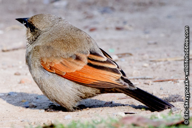 This is a photo of a , Cowbird - Bay-winged